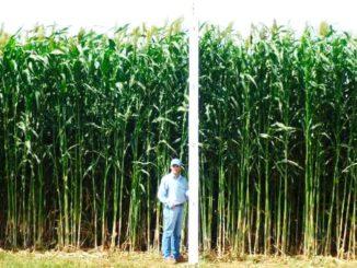 Biodiex y nuevos cultivos energéticos