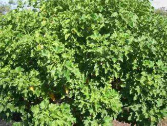 Jatropha Curcas (pinhão manso)