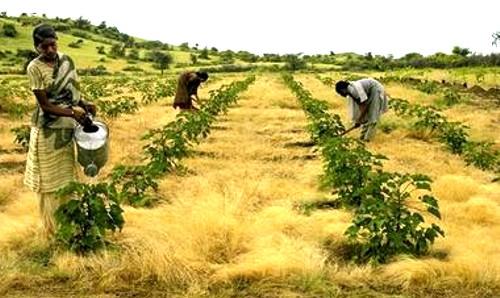Jatropha, oleaginosa que cuida el suelo, crea puestos de trabajo y beneficia a paises pobres, se utiliza para biodiésel