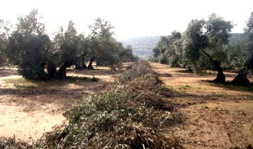 Desarrollan ecuaciones que optimizan la obtención de bioproductos de la poda del olivo