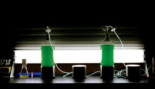 Algas cultivadas para producir biocombustibles en La Jolla para la empresa Synthetic Genomics de Craig Venter