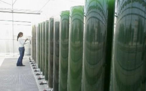Algenol Biofuels se asocia con Dow Chemical en una planta piloto de etanol a partir de algas