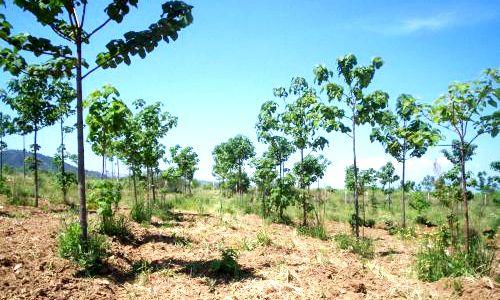 Paulownia SP., planta de origen chino de crecimiento ultrarrápido que se utiliza como biocombustible