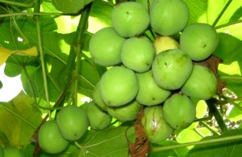 Jatropha curcas L. es una de las mejores alternativas para la produccion de biodiésel