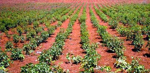 Plantación de cultivos energéticos. Oportunidades y limitaciones de los biocombustibles
