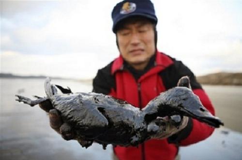 Aves contaminadas con petróleo
