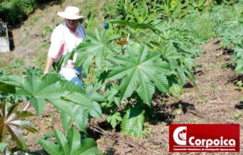 Higuerilla, alternativa productiva energética y agroindustrial para Colombia