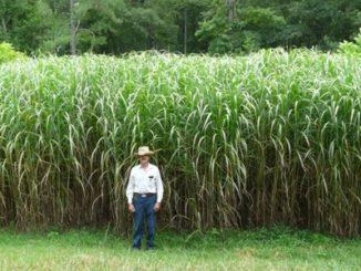 Usar el pasto para producir biocombustible