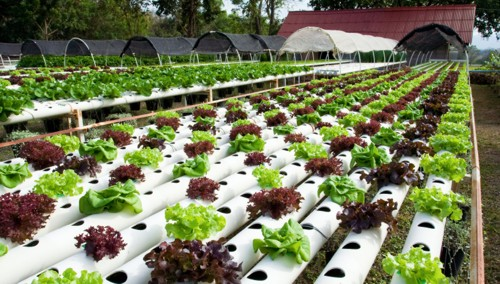 Hidroponia, cultivos sin suelo, agricultura hidropónica