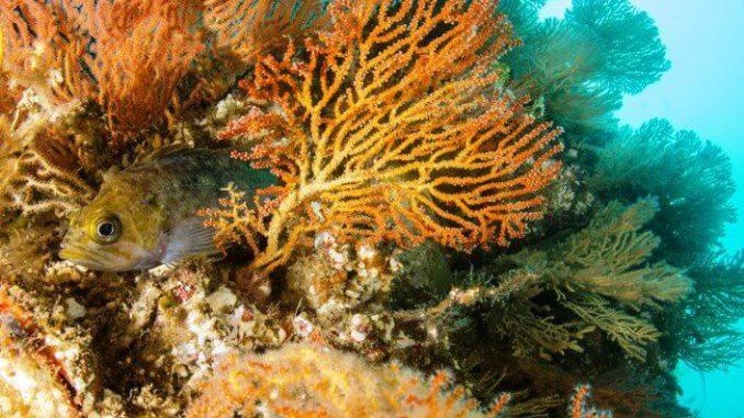Las gorgonias y los arrecifes - cambio climático