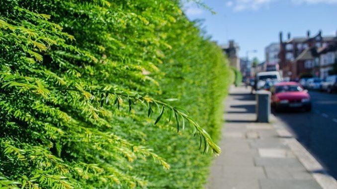 Plantar setos en carreteras y áreas urbanas para disminuir la exposición a la contaminación