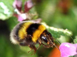 El cambio climático impacta en los abejorros