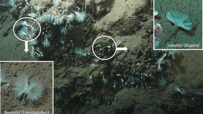 Gusanos tubulares en el fondo del océano absorben el metano liberado