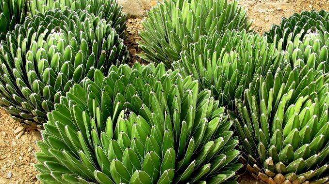 El agave como alternativa para la producción de biocombustibles