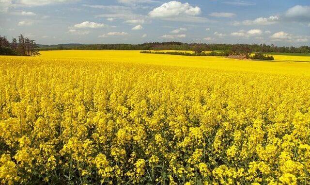 Suben los precios de los productos oleaginosos en Alemania