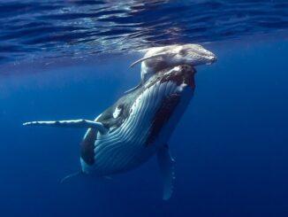 Se benefician las ballenas por la disminución de la contaminación acústica del océano